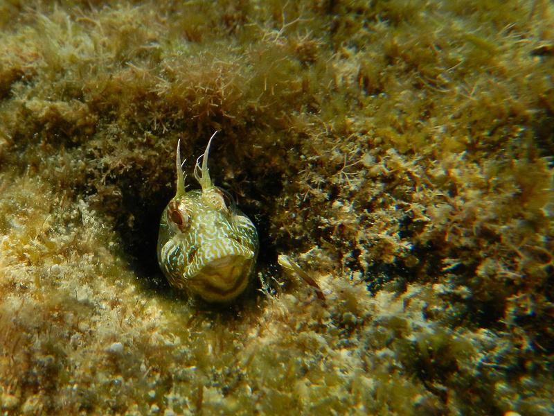 Gehörnter Schleimfisch, Parablennius tentacularis